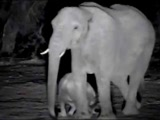 African Elephants - Busy Baby