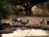 African Wild Dogs – First Time At Pete's Pond